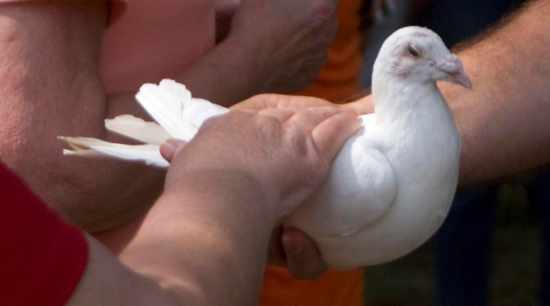 white dove with hands