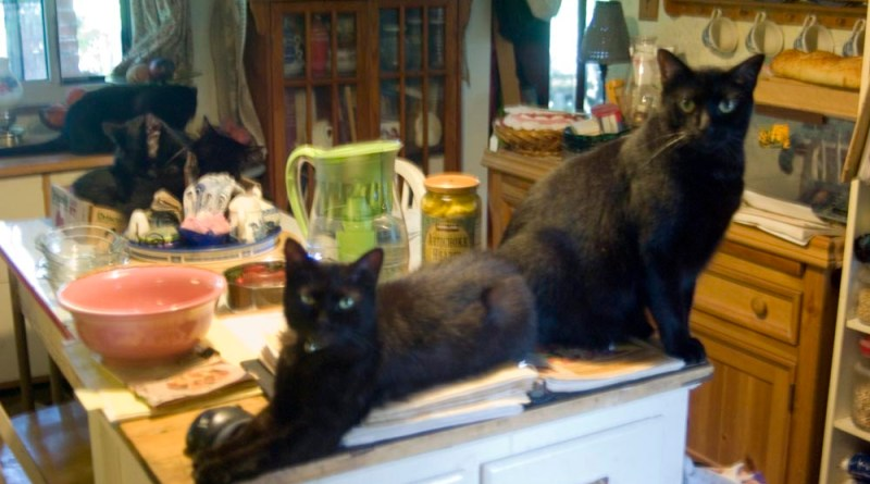 five black cats in kitchen