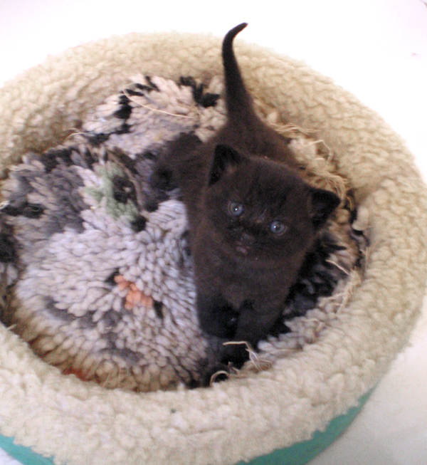 black kitten in cat bed