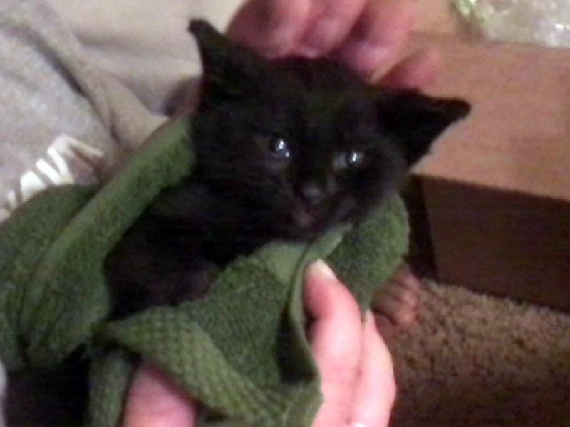 black kitten in green towel