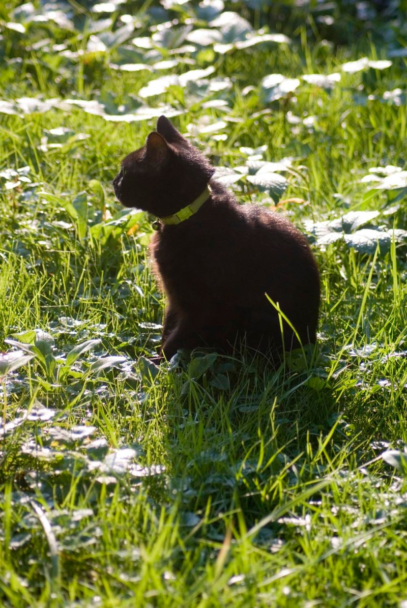 black cat in grass