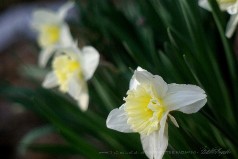 The special pale yellow daffodils I had planted with Allegro.