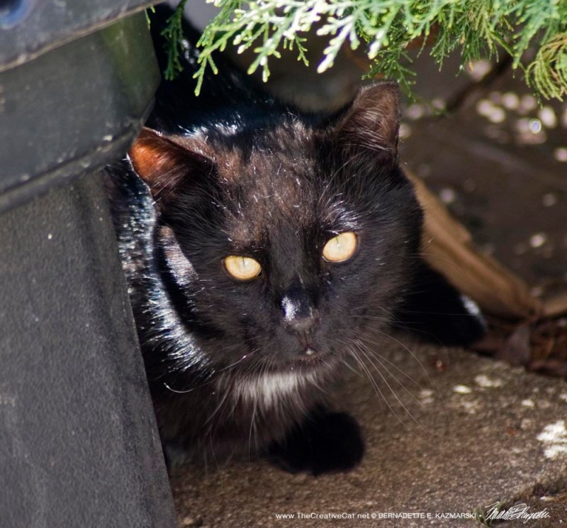 black eartipped feral cat