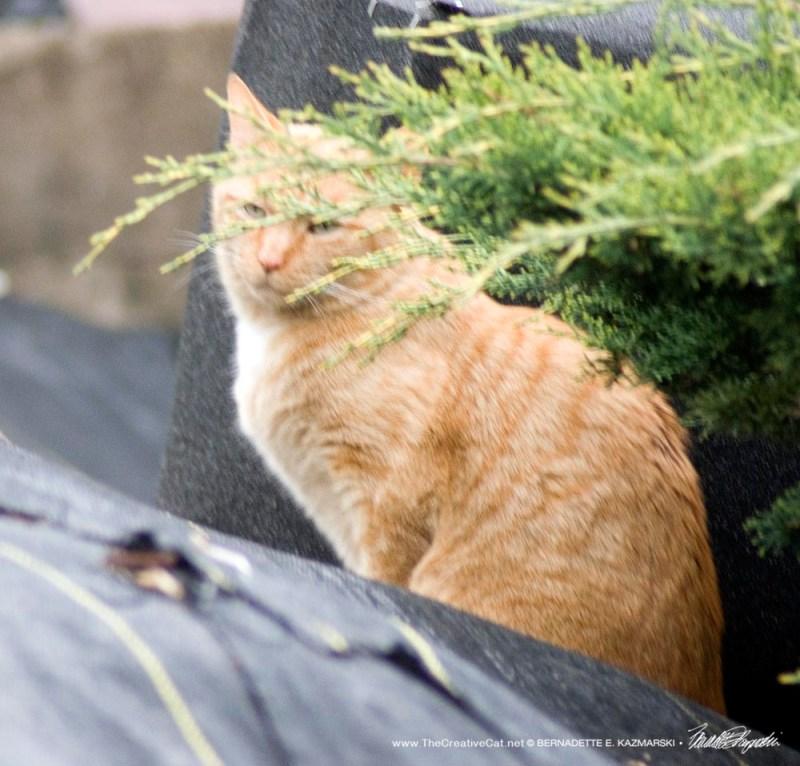 orange community cat