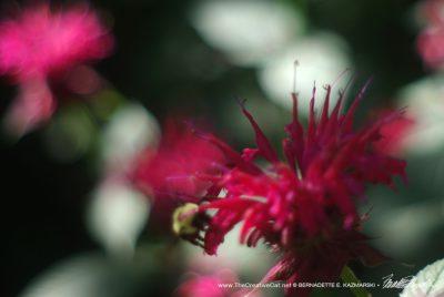 Bergamot flowers.