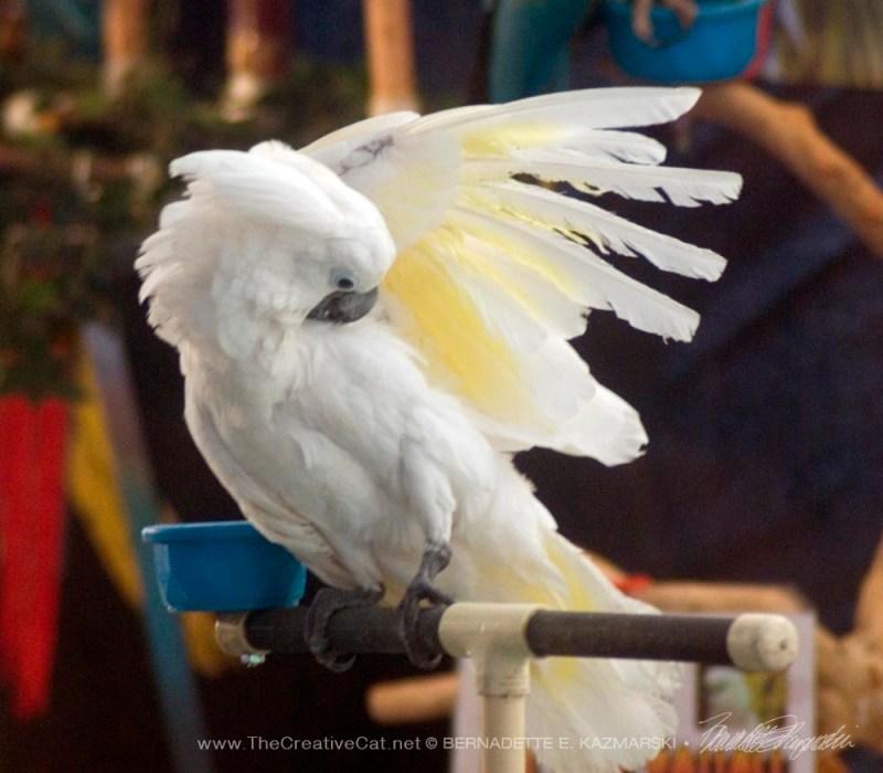 Umbrella Cockatoo.
