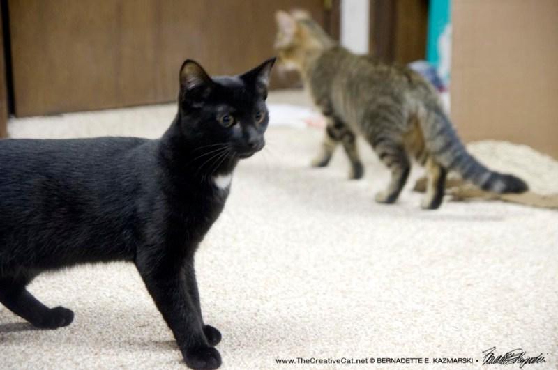 black kitten and tabby kitten