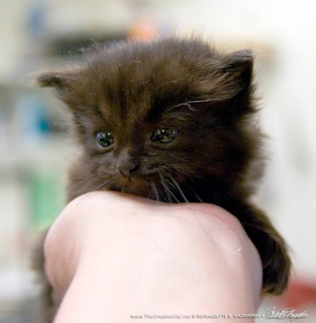 The black kitten.