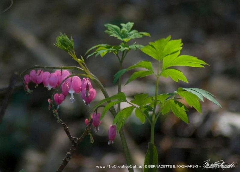 Bleeding hearts.