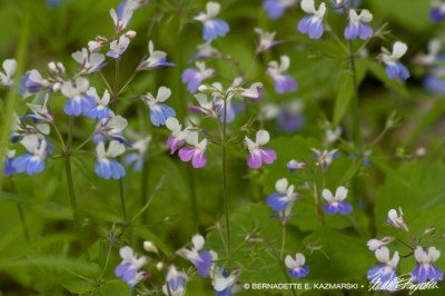 Closeup of blue-eyed mary.