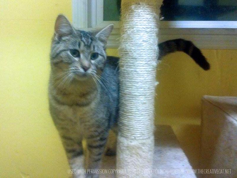 tabby cat on cat tree