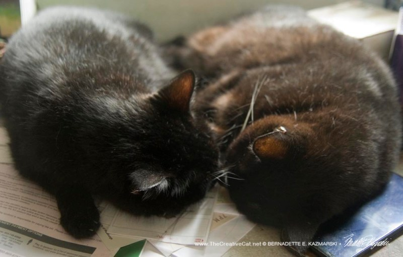 two black cats nose to nose