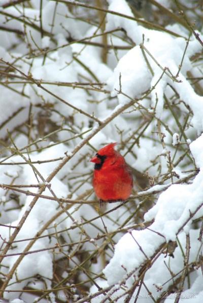 Cardinal in Forsythia © 2010 B.E. Kazmarski