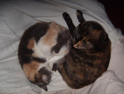 calico and tortoiseshell cats