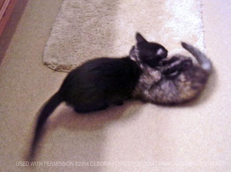 two kittens wrestling