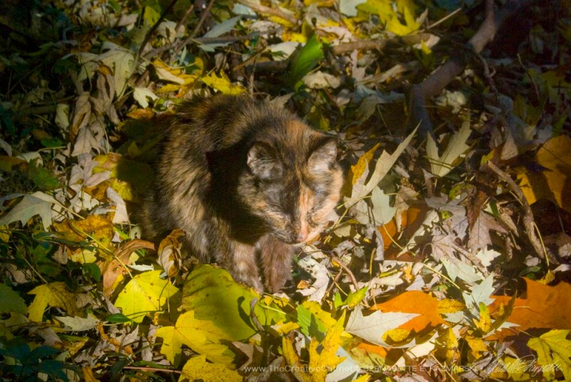 Autumn leaves, the perfect camouflage for a tortie girl!