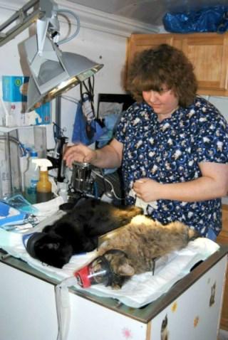 veterinarian spaying cats