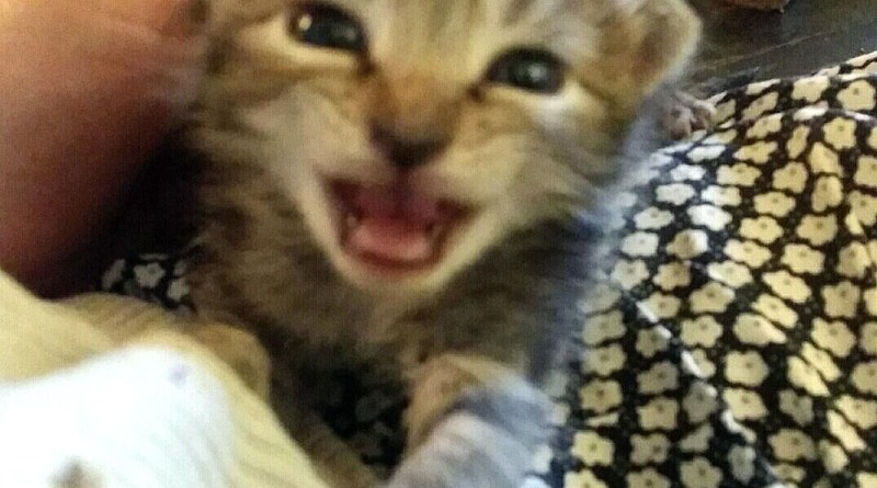 Tabby kitten looking for mom.
