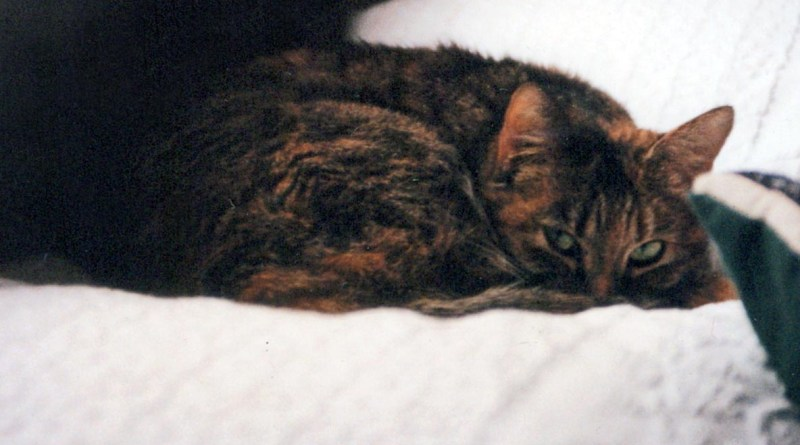 torbie cat on bed