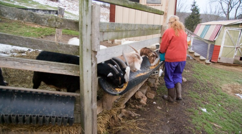 Birgitta feeding the goats.