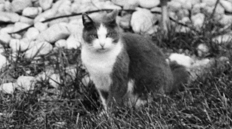 gray and white feral cat