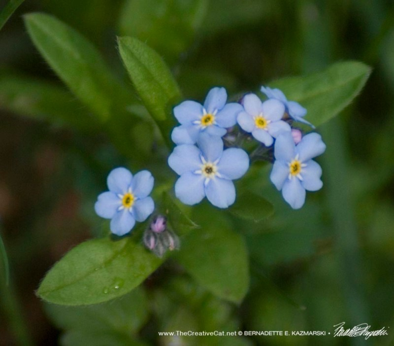 The first forget-me-nots this year.