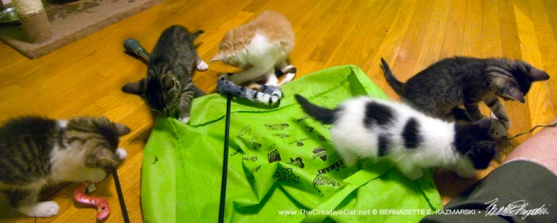 Five kittens exploring their new stuff!