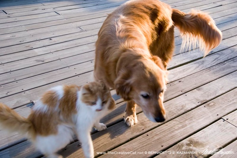 photo of golden retriever and orange and white cat
