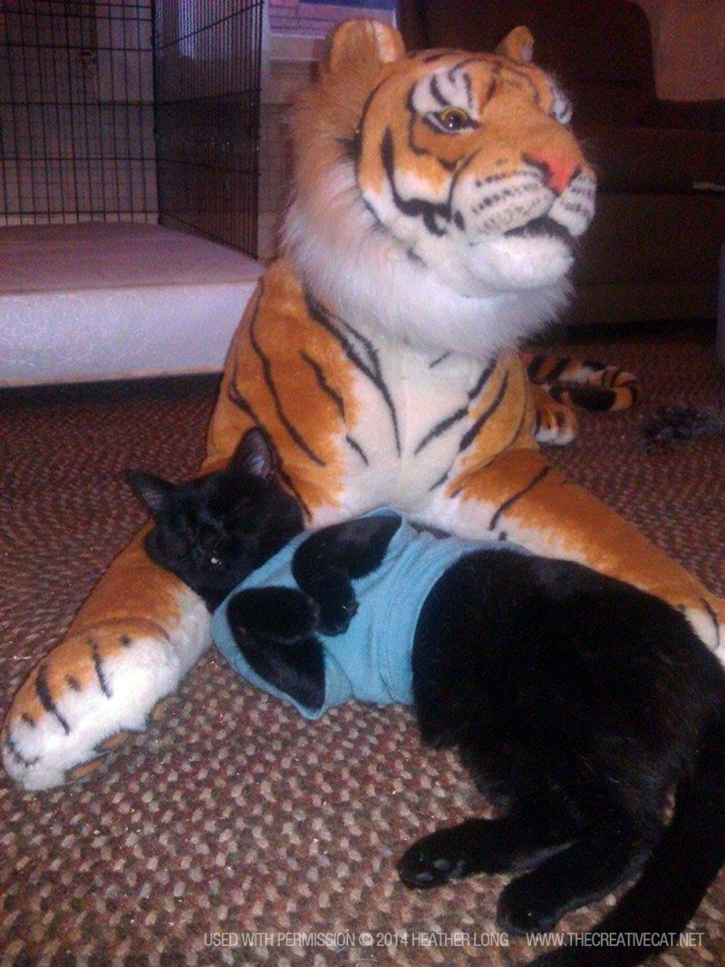 black cat with tiger