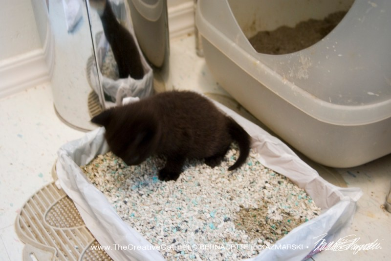 black kitten in litter box
