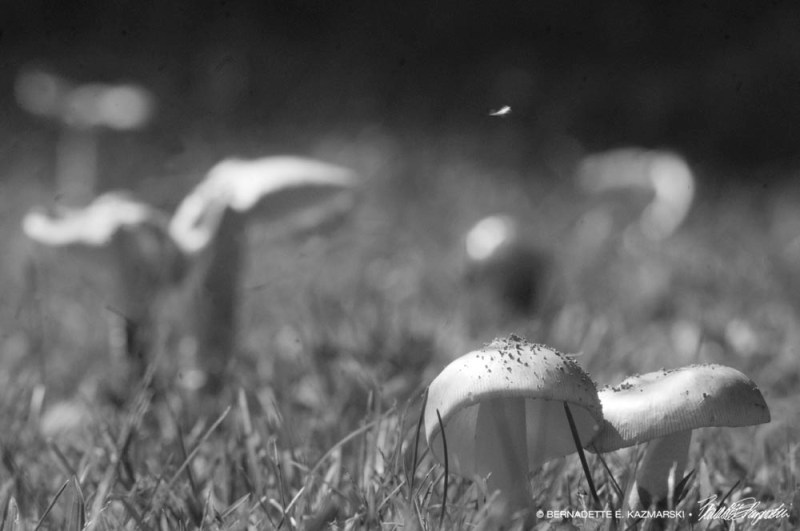 black and white of mushrooms in grass