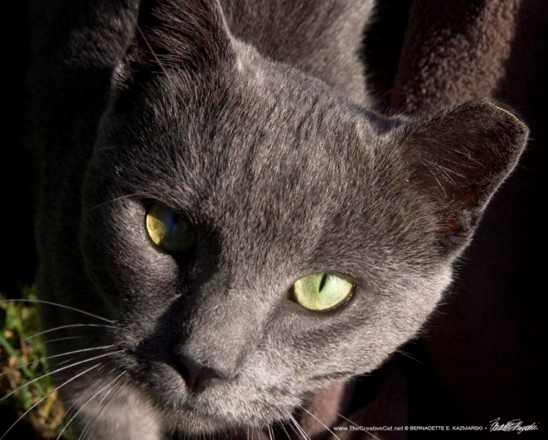 eartipped gray cat