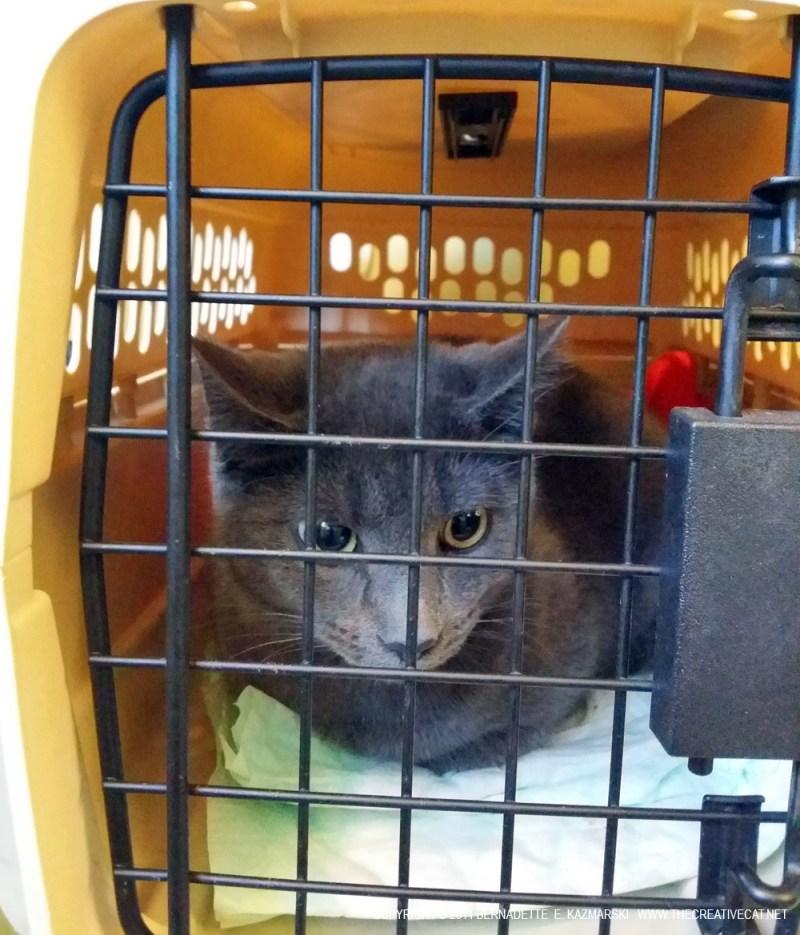 Gray kitten for spay.