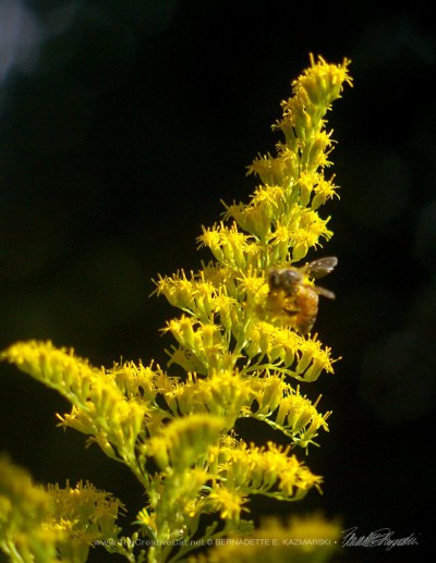 A honeybee on goldenrod in later summer.