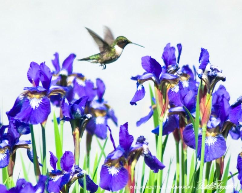 Hummingbird and Irises, photo.