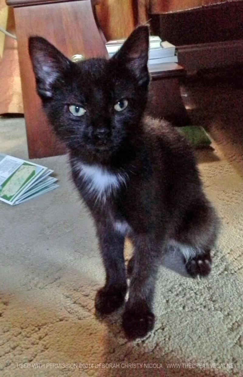 black kitten with white spot
