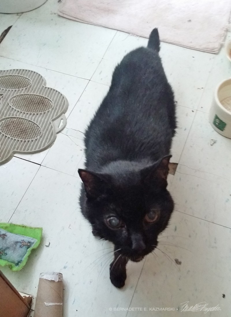 senior black cat with cataract