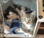 three kittens in carrier