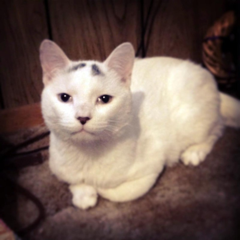 white cat with gray spots