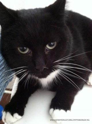 black and white cat fostercat