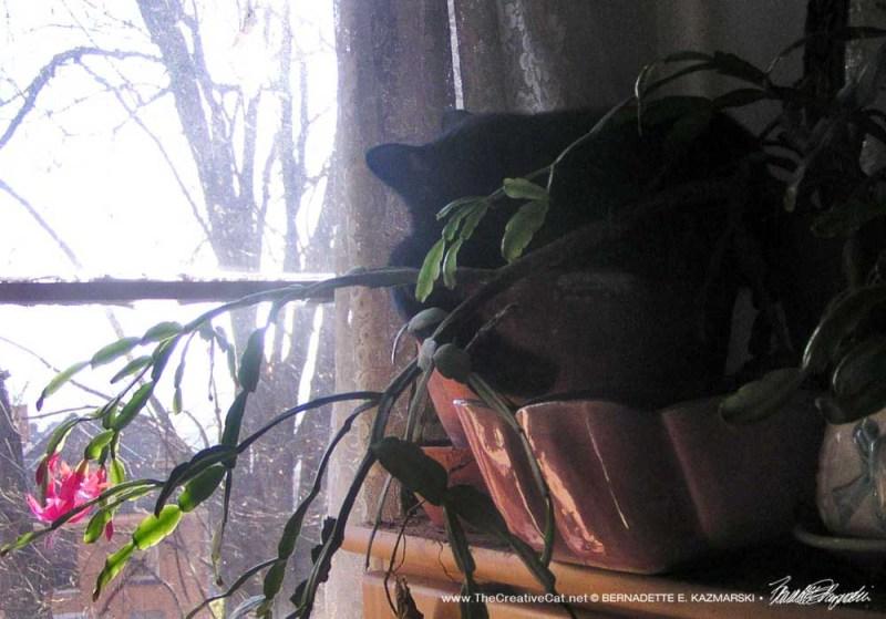 black cat in christmas cactus