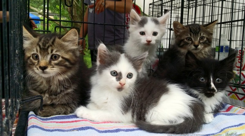 The whole beautiful litter of kittens, all medium-haired.