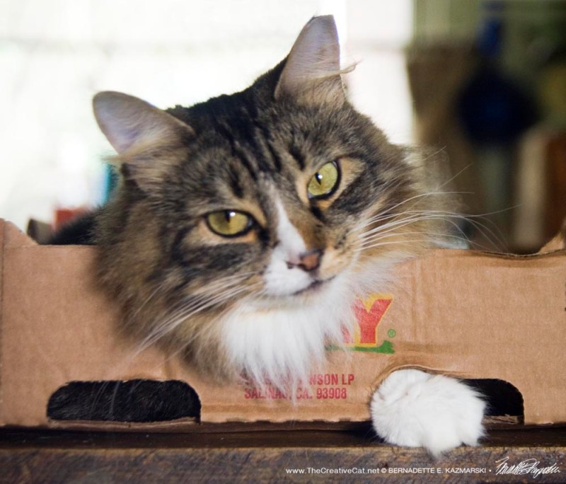 tabby and white cat in box
