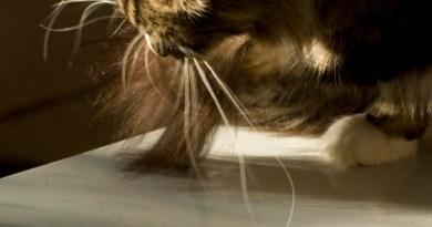 cat washing her tail