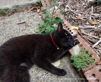 black cat with catnip plant