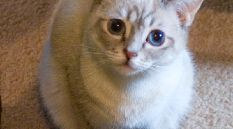siamese-point cat