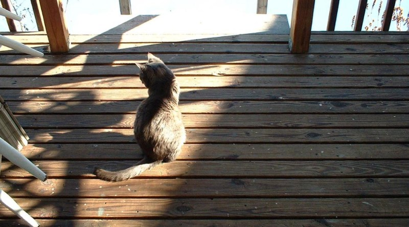 gray cat on deck