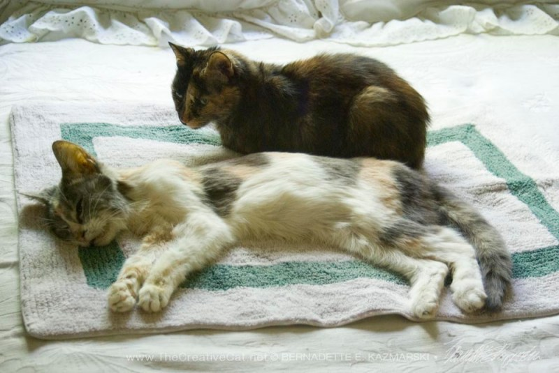 calico and tortie cat