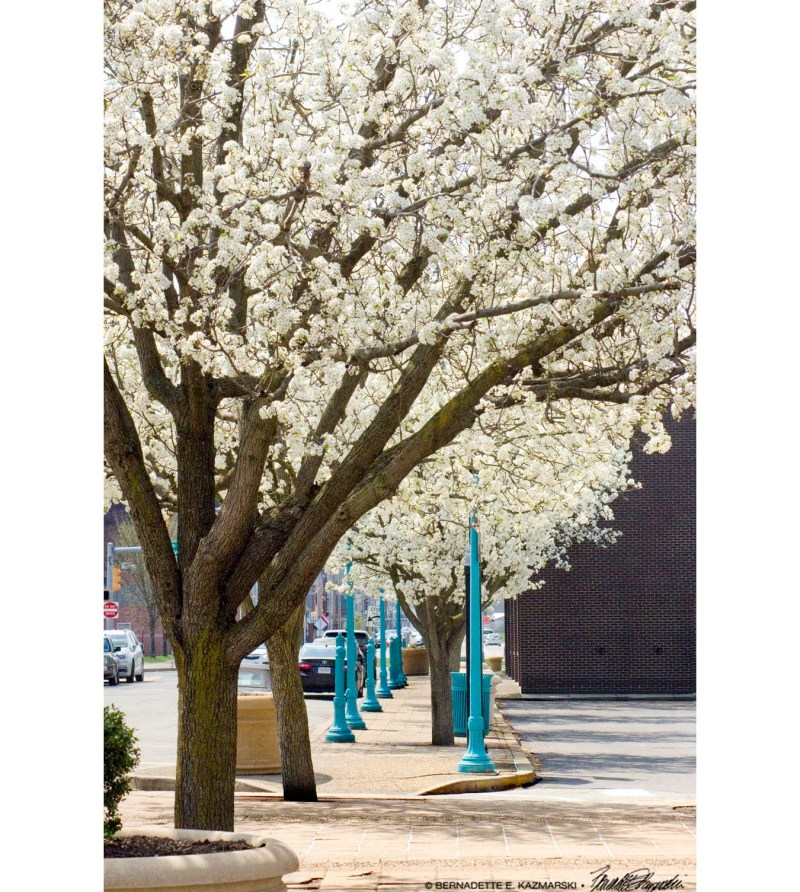 blooming pear trees