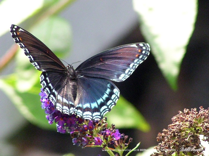 A black butterfly with blue spots.